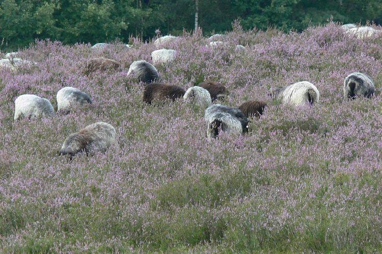 Eine Herde Schnucken auf einer Heide