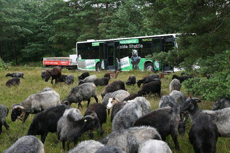 Eine Herde Schnucken und im Hintergrund ein Heide-Shuttle