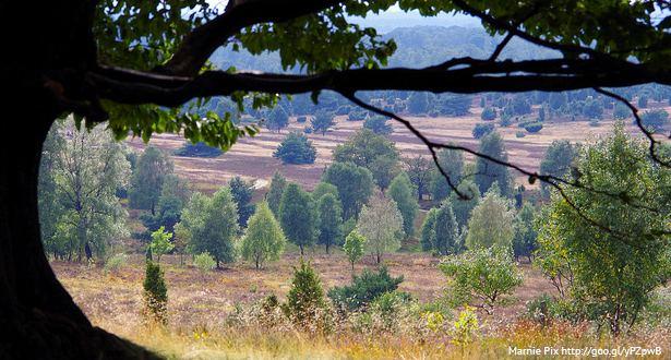 Sicht unter einem großen Ast durch auf die blühende Heidelandschaft
