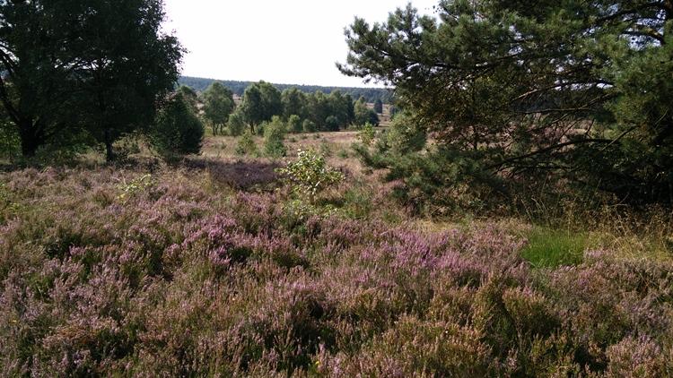 Landschaft mit Heidefläche und Kiefern
