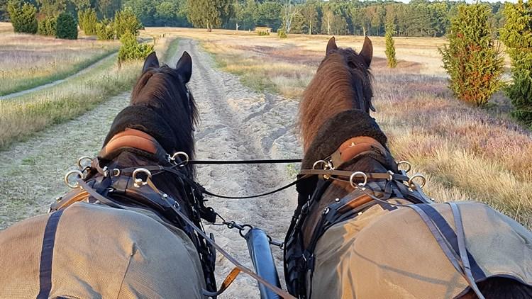 Blick auf die Rücken von zwei Kutschpferden
