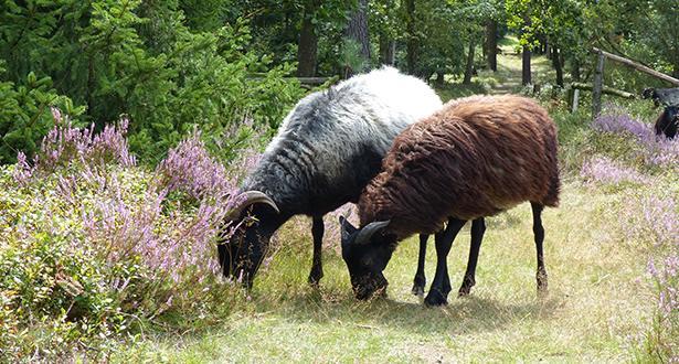 Eine Herde Schnucken, eine guckt interessiert Richtung Kamera