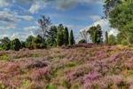 Die Timmerloher Heide in voller Blüte