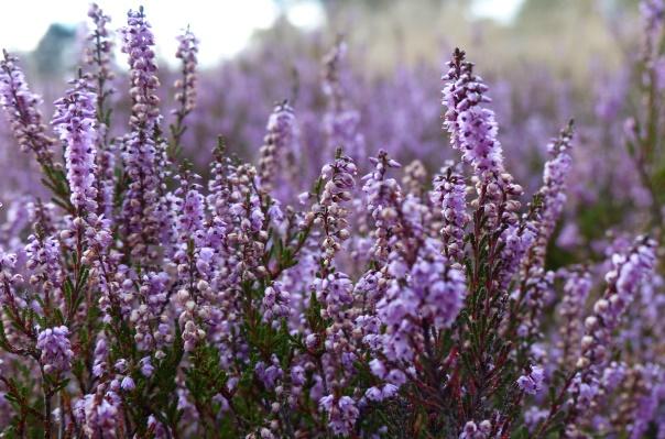 blühende Heidepflanzen in Nahaufnahme